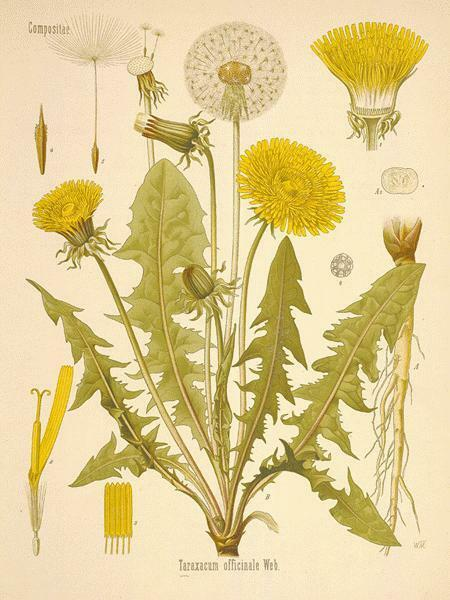 Dandelion Root Powder - 100% Pure Natural Chemical Free (4oz > 5lb) 7