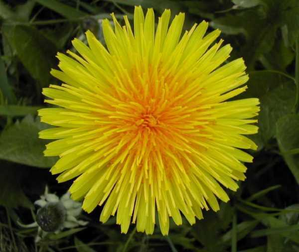 Dandelion Root Powder - 100% Pure Natural Chemical Free (4oz > 5lb) 4