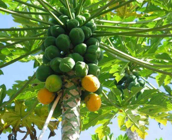 Papaya Leaf Powder - 100% Pure Natural Chemical Free (4oz > 5 lb) 5