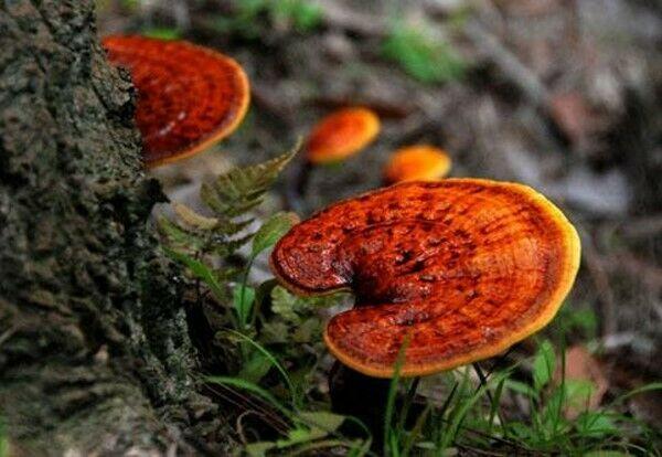Reishi Mushroom Powder - 100% Pure Natural Chemical Free (4oz > 5 lb) 6