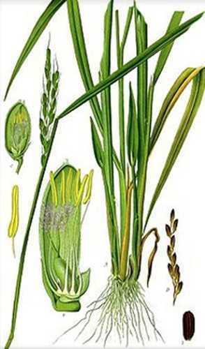 Lemongrass Powder - 100% Pure Natural Chemical Free (4oz > 2 lb) 6