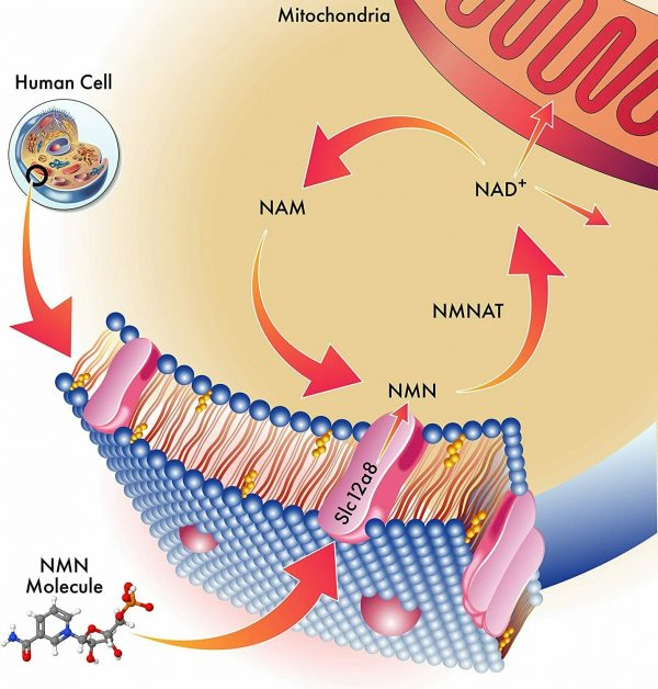 NMN β-Nicotinamide Mononucleotide Pure Potency 500mg / Serve, 60 capsules, NAD+  2