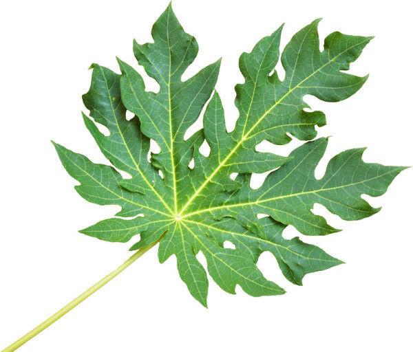 Papaya Leaf Powder - 100% Pure Natural Chemical Free (4oz > 5 lb) 4