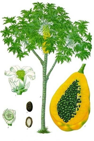 Papaya Leaf Powder - 100% Pure Natural Chemical Free (4oz > 5 lb) 6