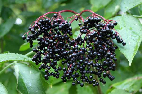 Elderberry Powder 10:1 Extract - 100% Pure Natural Chemical Free (4oz > 5 lb) 4
