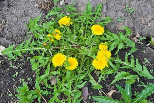 Dandelion Root Powder - 100% Pure Natural Chemical Free (4oz > 5lb) 5