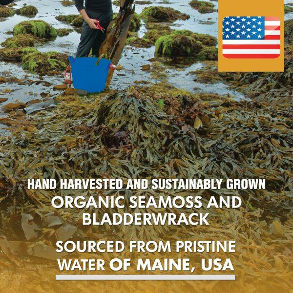 Organic Sea Moss 2625mg, Maine USA Hand Harvested, Irish Moss, Bladderwrack, Bur 4