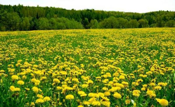 Dandelion Root Powder - 100% Pure Natural Chemical Free (4oz > 5lb) 6