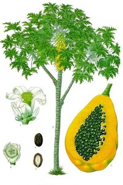 Papain Powder 100u/mg Proteinase - 100% Pure Natural Chemical Free (4oz > 5 lb) 7