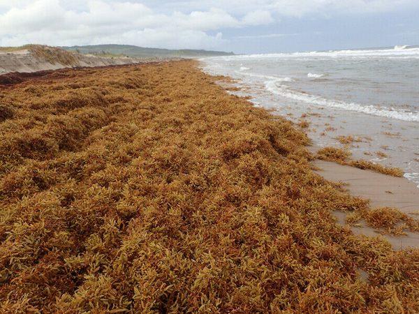 Jamaican Irish Sea Moss, Dr.Sebi Formula/ Raw and Wild Crafted 6